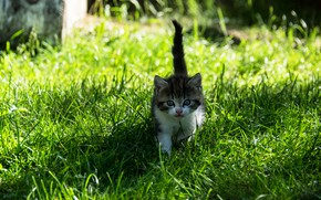 Picture cat, summer, grass, look, light, nature, kitty, grey, baby, walk, kitty, ponytail, white