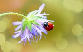 Picture flower, macro, background, ladybug