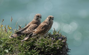 Picture flowers, birds, two, pair, Falcon, Kestrel, Heather, falcons, two birds