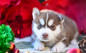 Picture red, pose, background, dog, baby, puppy, lies, tinsel, face, brown, husky, Siberian husky