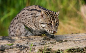 Picture cat, look, face, pose, wild, Fisher cat