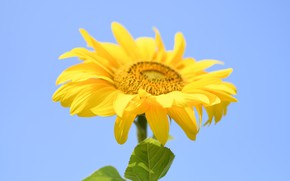 Picture Yellow, Summer, Sunflower