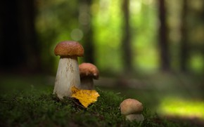 Picture white, mushrooms, mushrooms