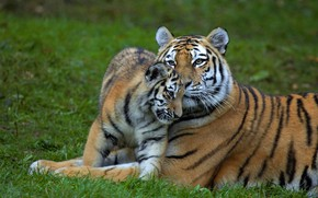 Picture grass, glade, baby, pair, weasel, tigers, mom, tigress, two, tiger, tiger
