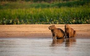 Picture shore, two, pair, pond, the capybara, pig capybara, Vdovenko