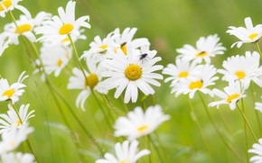 Picture field, summer, flowers, fly, glade, chamomile, white, green background, chamomile field