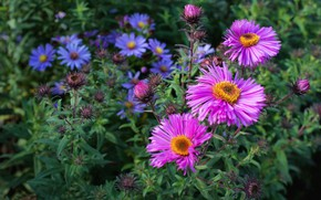 Picture flowers, garden, pink, flowerbed, asters