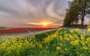 Picture road, field, the sky, the sun, trees, sunset, flowers, yellow, tulips, red, plantation, rape, rapeseed …