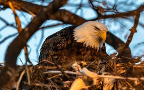 Picture look, branches, tree, bird, socket, predatory, bald eagle