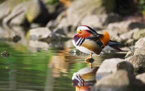 Picture nature, stones, bird, duck, pond, tangerine