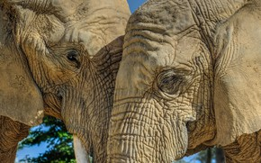 Picture nature, background, elephants
