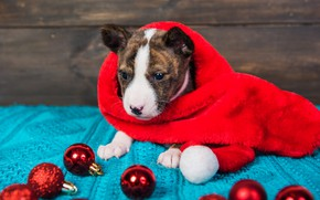 Picture look, balls, red, pose, holiday, balls, Board, dog, scarf, baby, Christmas, puppy, red, New year, …