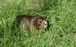 Picture summer, grass, Guinea pig, rodent