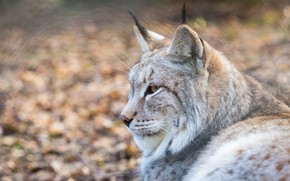 Picture look, face, portrait, profile, lynx, wild cat