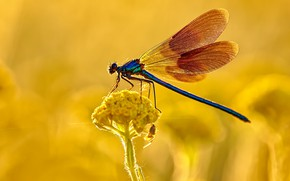 Picture macro, flowers, dragonfly, yellow, insect, wings, blue, yellow background, bokeh, spider
