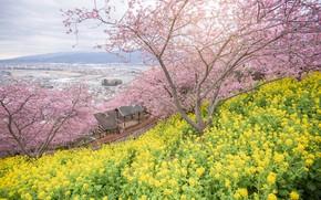 Picture trees, flowers, Park, spring, Sakura, flowering, pink, blossom, park, tree, sakura, cherry, spring