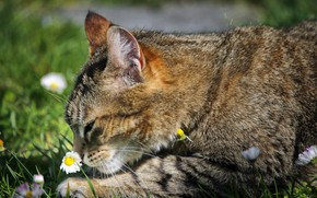 Picture sniffing, tabby cat, Daisy, lying on the ground