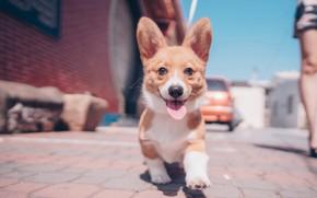 Picture language, look, dog, walk, face, ears, doggie, Welsh Corgi