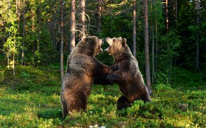 Picture greens, forest, summer, look, light, trees, green, background, trunks, glade, fight, paws, bear, bears, fight, …