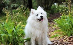 Picture look, nature, dog, white, sitting, Spitz