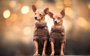Picture dogs, background, two, a couple, Duo, Chihuahua, dogs, bokeh, sitting, baby, faces