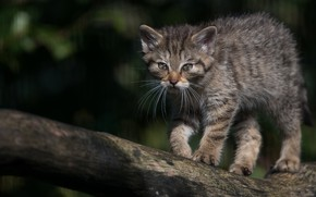 Picture cat, cat, the dark background, kitty, log, kitty, wild, forest, Norwegian, wild forest cat