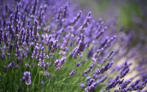 Picture flowering, lavender, bokeh