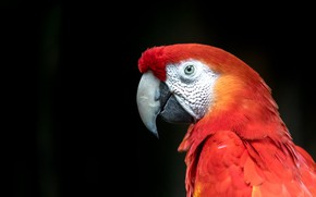 Picture look, red, bird, portrait, parrot, black background, Ara