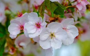 Picture spring, petals, Apple, flowering