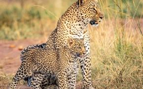 Picture leopard, cub, kitty, wild cat