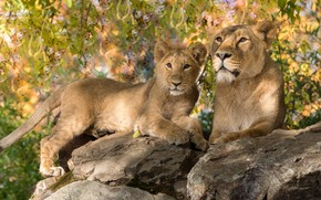 Picture look, face, light, nature, pose, stones, foliage, baby, pair, lions, lioness, lion, two, lion, bokeh, …
