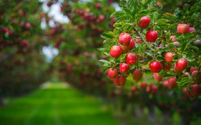 Picture summer, leaves, branches, background, tree, lawn, apples, food, beauty, garden, harvest, track, red, fruit, green …