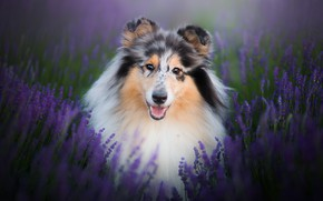 Picture look, face, flowers, dog, lavender, Collie