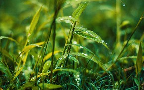 Picture Nature, Drops, Grass, Plant, Rosa, Nature, Grass, Green, Water, Wet, Drops, Plant, Dew, Droplets, Growth, …
