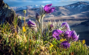 Picture meadow, anemones, dream grass