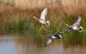 Picture grass, water, flight, birds, shore, duck, three, duck, pond, fly, wingspan