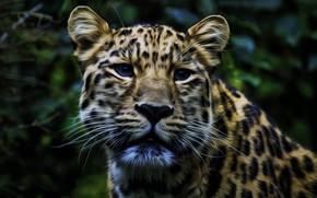Picture face, leopard, coloring