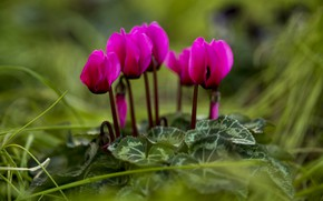 Picture bright, pink, cyclamen