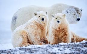 Picture winter, look, snow, nature, pose, the snow, three, bear, white, kids, bears, polar bear, trio, …