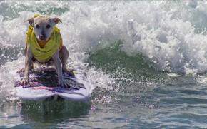 Picture dog, Animals, surfing
