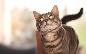 Picture cat, cat, look, face, grey, tail, light background, striped, yellow eyes, looking up