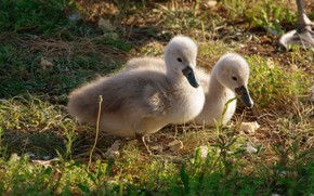 Picture grass, birds, nature, glade, Swan, kids, a couple, swans, two, Chicks, the Lebeda, Lebedenko, Lebedenko, ...