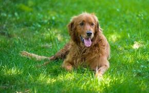 Picture language, grass, light, dog, lies, red, green background, Retriever