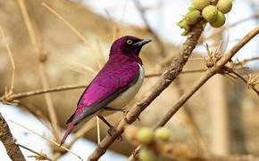 Picture berries, bird, branch