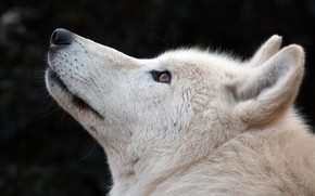 Picture white, wolf, wool