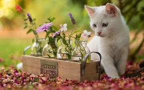 Picture cat, white, look, flowers, nature, kitty, background, petals, jars, kitty, box, flowers, sitting, different eyes, …