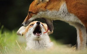 Picture language, look, face, mouth, Fox, cub, mom, teeth, composition, Fox, Fox