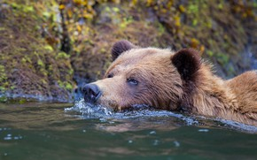 Picture look, face, water, nature, river, shore, bear, bathing, bear, pond, swimming, brown