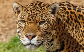Picture look, face, predator, leopard