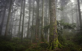 Picture forest, trees, branches, nature, fog, trunks, moss, morning, ate, haze, pine, needles, misty, coniferous